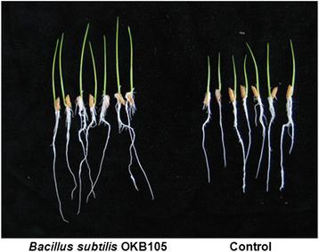 Transcriptome profiling of Bacillus subtilis OKB105 in response to rice seedlings | Microbes | Scoop.it
