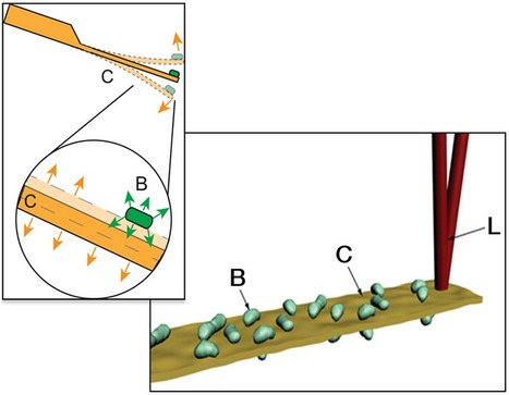 Shaky sensor: a cantilever covered with bacteria shakes up and down as bacteria metabolize on its surface | Environmental Sensors | Scoop.it