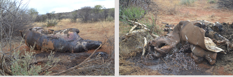 The animal nobody wants to keep | What's Happening to Africa's Rhino? | Scoop.it