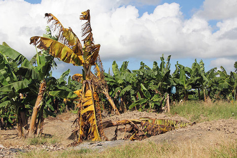 Global efforts needed to stop deadly banana disease, protect industry | Food & Nutrition Security in East Africa | Scoop.it
