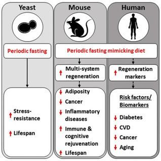 A Periodic Diet that Mimics Fasting Promotes Multi-System Regeneration | Social net(work & fun) | Scoop.it