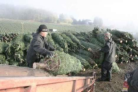Oregon farmers see Christmas tree shortage | Christmas Trees and More | Scoop.it