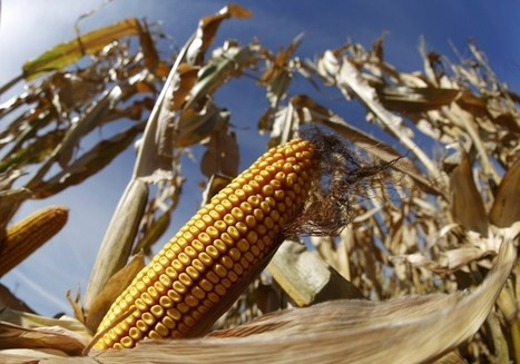 Scientists find the single letter in corn's DNA that spurred its evolution | MAIZE | Scoop.it