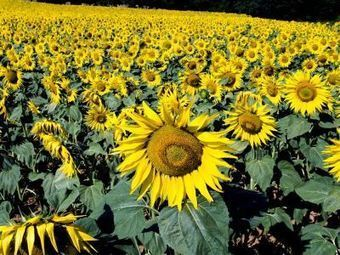 Wilco Ligterink in a Dutch radio item about a new study on heliotropism in Sunflower (Only in Dutch) | Wageningen Seed Lab | Scoop.it