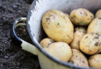 How to Grow New Potatoes | Planet Natural | Gardening | Scoop.it