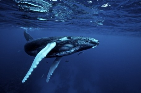 How the Blue Whale can teach us about fans, filters and biomimicry | Teen Interest | Scoop.it