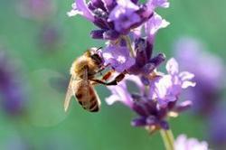 Efecto de los plaguicidas agrícolas en las poblaciones de abejas   Ciencia, política y Derecho   Scoop.it