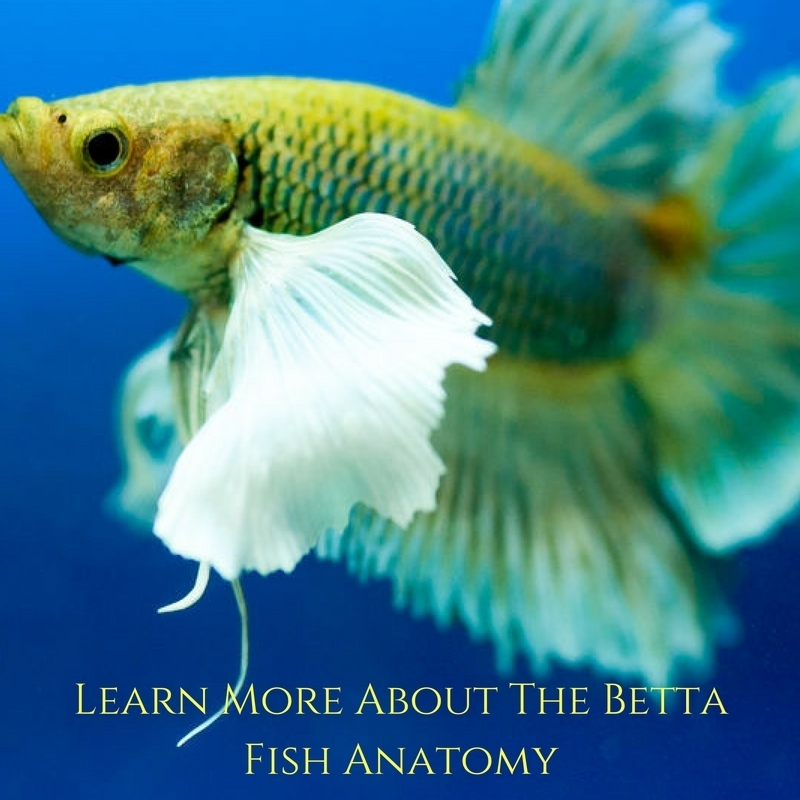 Betta Fish Anatomy Important Facts About Your