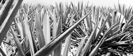 ANATOMÍA DEL MEZCAL - The Anatomy of Mezcal | Gastronomic Expeditions | Scoop.it