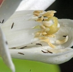 Spain: mites could help citrus pest control | Fresh Fruit Portal | The Barley Mow | Scoop.it