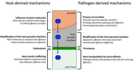 PLOS Biology: How Do Filamentous Pathogens Deliver Effector Proteins into Plant Cells? (An Unsolved Mystery) | Plant Biology Teaching Resources (Higher Education) | Scoop.it
