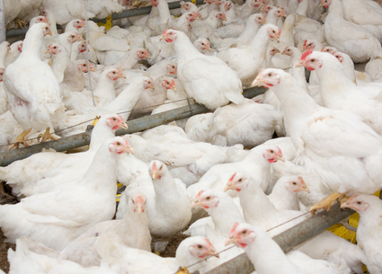Factory Farms Are Accelerating an Antibiotics Nightmare | Local Food Systems | Scoop.it
