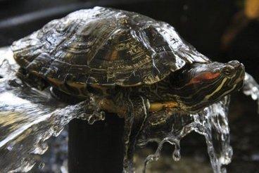 Une New-Yorkaise condamnée pour contrebande de tortues au Canada | The Blog's Revue by OlivierSC | Scoop.it