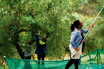 Delicious Italy - Olive Picking in the Sabine Hills | Italian food and travel | Scoop.it
