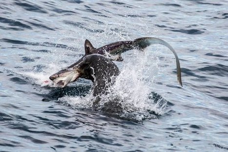 Sea Lions Devour Sharks, Proving You Know Squat About The Food Chain   Amocean OceanScoops   Scoop.it