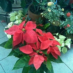 Six Facts About Poinsettias - Articles | Wisconsin living | Scoop.it