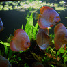 How to Breed Discus Fishes