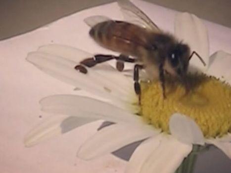 Les fleurs, tremplins pour les «vampires» des abeilles | Biodiversité & Relations Homme - Nature - Environnement : Un Scoop.it du Muséum de Toulouse | Scoop.it