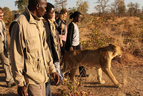 Is walking with lions good conservation? Probably not | Trophy Hunting: It's Impact on Wildlife and People | Scoop.it