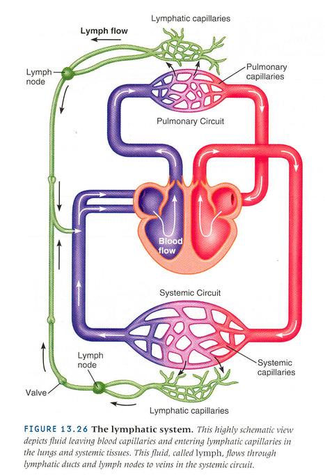 factores que influyen en el flujo de la linfa |...