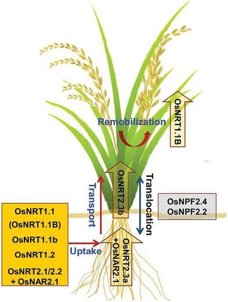 Nitrogen Nutrition In Plants Rapid Progress An
