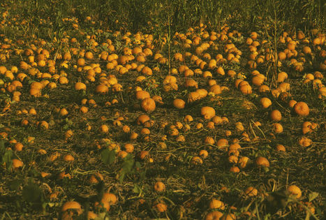 Morton, Illinois; The Pumpkin Capital of the World | The Miracle of Fall | Scoop.it