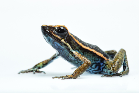 New Poisonous Frog Species Discovered in Peru | Biodiversity protection | Scoop.it