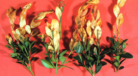 Boxwood Blight Update: Cylindrocladium pseudonaviculatum - Box Blight Pathogen | Plant Pests - Global Travellers | Scoop.it
