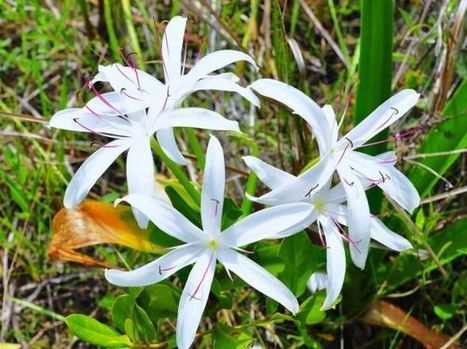 Swamp Lily in bloom at Fakahatchee Strand | Fotógrafos na minha rede | Scoop.it