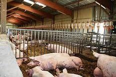 Communiqué du SNIV-SNCP : Porc : l'offre communautaire en décrue, les cours en production en forte hausse | agro-media.fr | Actualité de l'Industrie Agroalimentaire | agro-media.fr | Scoop.it