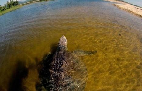 Honduras: 30.000 tortues marines gagnent la mer sous la protection d'écologistes | Biodiversité, Herpétologie, Ichtyologie, Entomologie... | Scoop.it