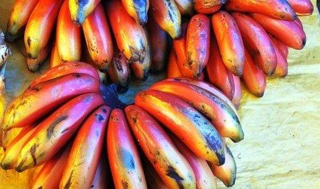 Súper bananas transgénicas: denuncian biopiratería y falta de ética - Ecoportal.net | Agroindustria Sostenible | Scoop.it