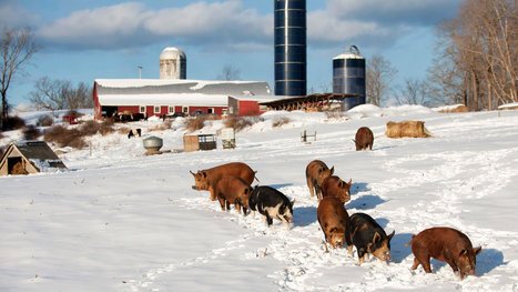 Demand Grows for Hogs That Are Raised Humanely Outdoors | North Carolina Agriculture | Scoop.it