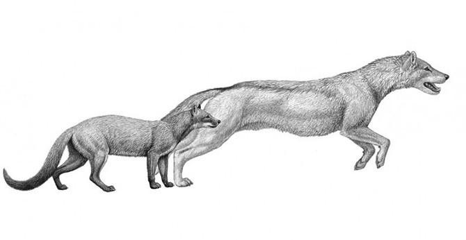 El clima moldeó a los lobos | Pangea | ...