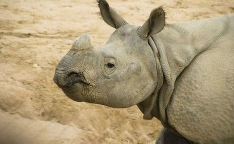 No proof rhino horns or tiger bones increase sexual performance | What's Happening to Africa's Rhino? | Scoop.it