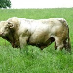 Weird News: Amorous bull damages car | enjoy yourself | Scoop.it
