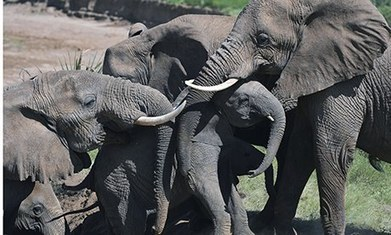 The amazing intelligence of elephants | Life on Earth | Scoop.it