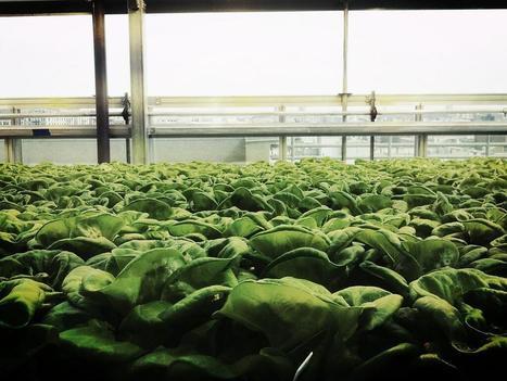 Twitter / skyvegetables: Could this butterleaf lettuce ... | Vertical Farm - Food Factory | Scoop.it