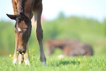 The Uterine Environment's Impact on Foal Metabolism | Equine matters | Scoop.it