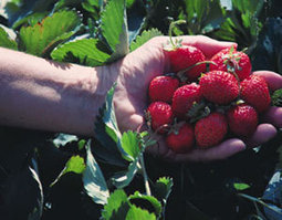 Methyl Bromide Toxicity: What's on Your Strawberries? | Food: Thy True Medicine | Scoop.it