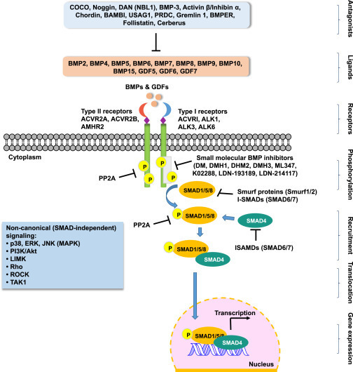The Dual Role of Bone Morphogenetic Proteins in