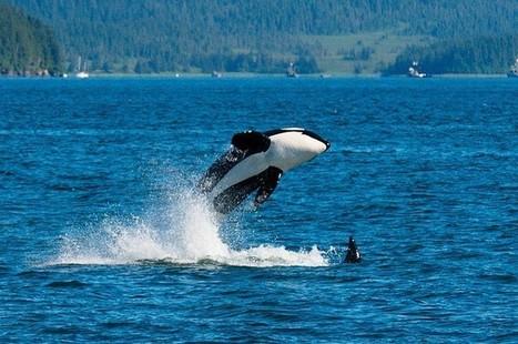San Francisco reconnais les droits des baleines et des dauphins. | Biodiversité, Herpétologie, Ichtyologie, Entomologie... | Scoop.it