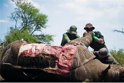 Groups involved in rhino poaching fight must re... | Save our Rhino and all animals...this is what it looks like!!!!! | Scoop.it