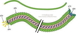 Viruses help form biofilms | mikrobiologija | Scoop.it