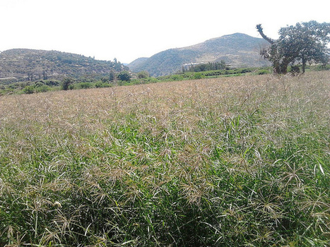 Field day Chloris Gayana | Agricultural Biodiversity | Scoop.it