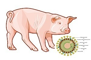 Porcine Epidemic Diarrhea Virus Update | Agriculture | Scoop.it