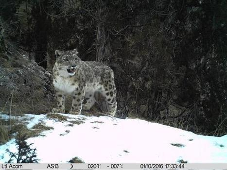Snow and common leopards found in the same area | Discover Wildlife | Oceans and Wildlife | Scoop.it