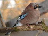 Eurasian Jays are not only aware that others may be watching, but also might be surreptitiously listening, too | Amazing Science | Scoop.it