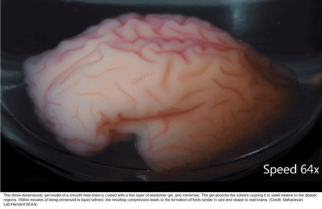 Human brain folding demonstrated in the lab! | The Brain Might Learn that Way | Scoop.it