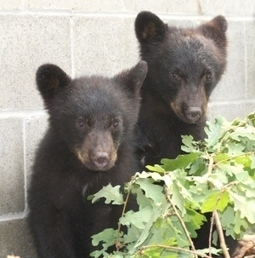 Anonymous hackers release emails ordering bear cubs be killed - CBC.ca | Anonymous Canada News | Scoop.it
